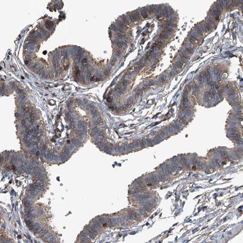 Immunohistochemistry (Formalin/PFA-fixed paraffin-embedded sections) - Anti-SEPT7 antibody (ab244434)