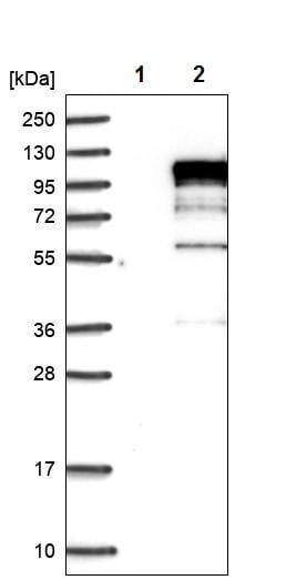 Western blot - Anti-RAP80 antibody (ab244464)