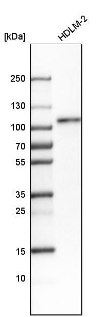 Western blot - Anti-RAP80 antibody (ab244465)