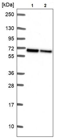 Western blot - Anti-WDR1 antibody (ab244541)