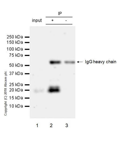 Immunoprecipitation - Anti-Cripto1/CRIPTO antibody [EPR22230-60] - BSA and Azide free (ab244553)