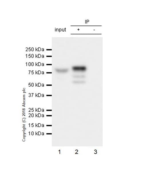 Immunoprecipitation - Anti-GRK2 antibody [EPR22465] - BSA and Azide free (ab245125)