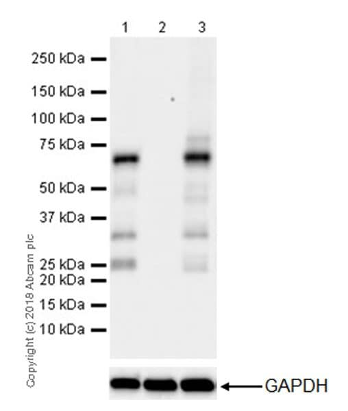 Western blot - Anti-YTHDF2 antibody [EPR20318] - BSA and Azide free (ab245129)