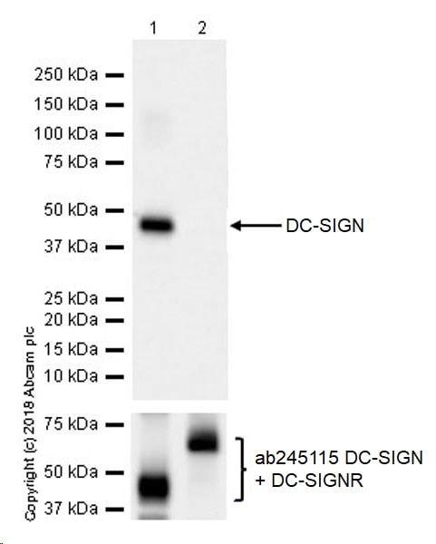 Western blot - Anti-DC-SIGN antibody [EPR22395-52] (ab245189)