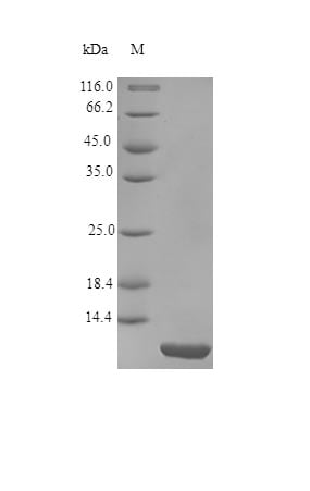 SDS-PAGE - Recombinant Hirudin protein (Active) (ab245193)