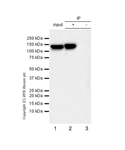 Immunoprecipitation - Anti-6X His tag® antibody [JPAR-2] - BSA and Azide free (ab245203)