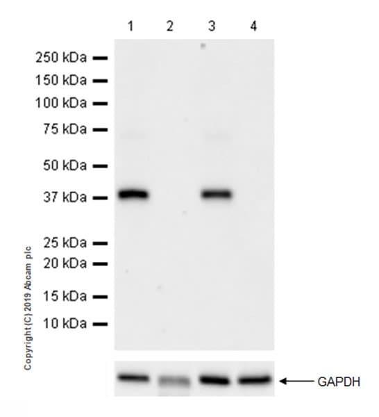 Western blot - Anti-DMC1 antibody [EPR23207-130] (ab245217)