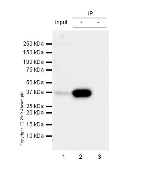 Immunoprecipitation - Anti-DMC1 antibody [EPR23207-130] (ab245217)