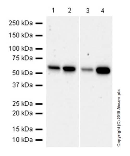 Western blot - Anti-SMARCD1 antibody [EPR23170-71] (ab245222)