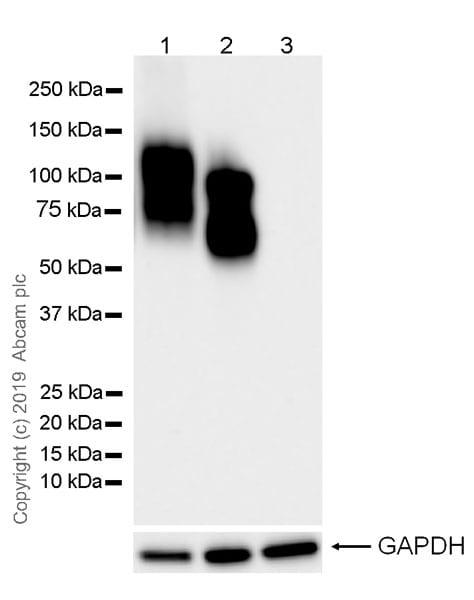 Western blot - Anti-CD19 antibody [EPR23174-145] (ab245235)