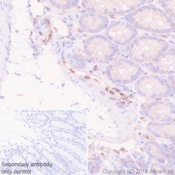 Immunohistochemistry (Formalin/PFA-fixed paraffin-embedded sections) - Anti-LMO2 antibody [EPR22404-45] (ab245250)