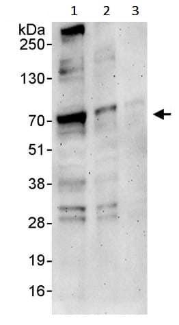 Western blot - Anti-YAP1 antibody (ab245286)