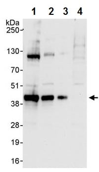 Western blot - Anti-SOX2 antibody (ab245292)