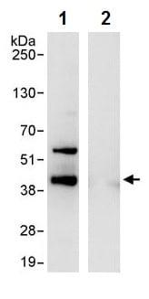 Immunoprecipitation - Anti-SOX2 antibody (ab245292)