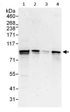 Western blot - Anti-STAT1 antibody (ab245297)