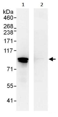 Immunoprecipitation - Anti-STAT1 antibody (ab245297)
