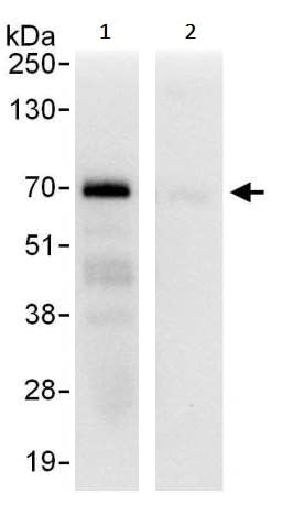 Immunoprecipitation - Anti-HSF1 antibody (ab245316)