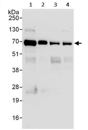 Western blot - Anti-HSF1 antibody (ab245317)