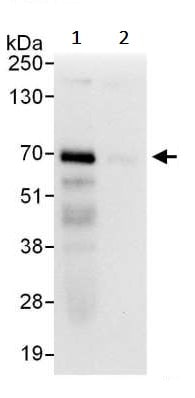 Immunoprecipitation - Anti-HSF1 antibody (ab245317)