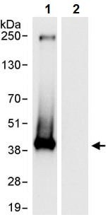 Immunoprecipitation - Anti-Nucleophosmin antibody (ab245326)