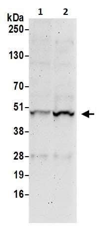Western blot - Anti-IRF3 antibody (ab245333)