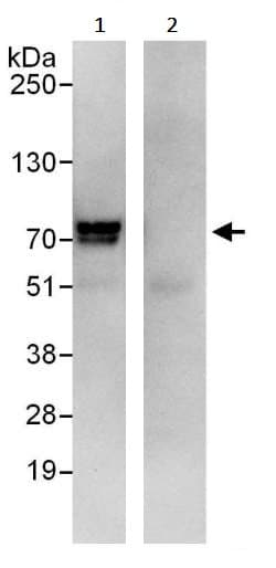 Immunoprecipitation - Anti-TLS/FUS antibody (ab245344)