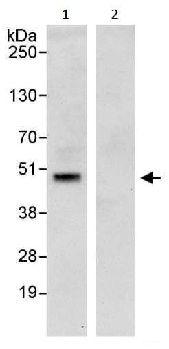 Immunoprecipitation - Anti-SIRT6 antibody (ab245348)