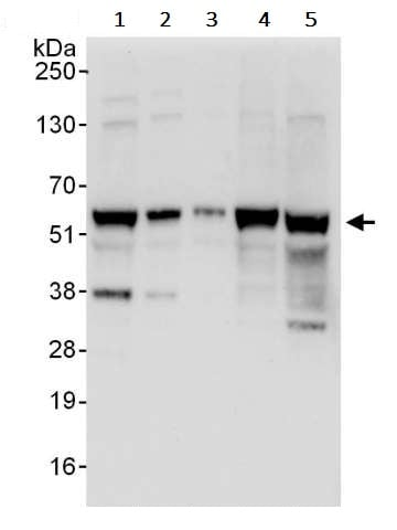 Western blot - Anti-YY1 antibody (ab245364)