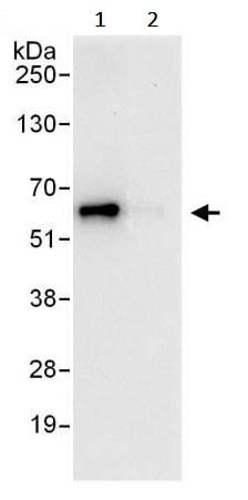 Immunoprecipitation - Anti-YY1 antibody (ab245365)