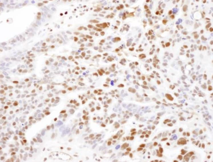 Immunohistochemistry (Formalin/PFA-fixed paraffin-embedded sections) - Anti-SAMHD1 antibody (ab245389)