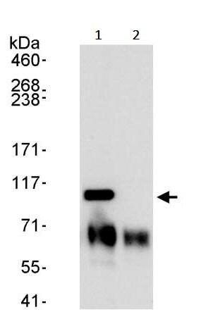 Immunoprecipitation - Anti-KPNB1 antibody (ab245402)