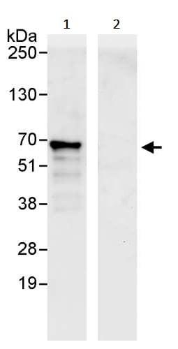 Immunoprecipitation - Anti-ATF2 antibody (ab245406)