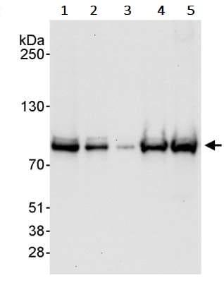Western blot - Anti-Cullin 3/CUL-3 antibody (ab245410)