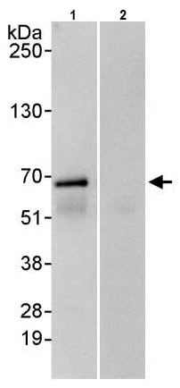 Immunoprecipitation - Anti-PAK1 antibody (ab245414)