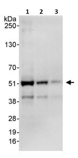 Western blot - Anti-DEK antibody (ab245430)