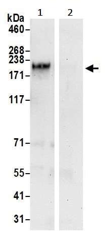 Immunoprecipitation - Anti-NFAT5 antibody (ab245452)