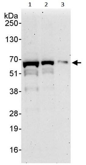 Western blot - Anti-FOXO4/AFX antibody (ab245453)