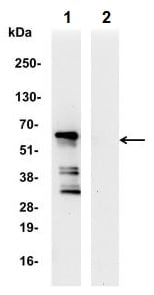 Immunoprecipitation - Anti-IRF5 antibody (ab245475)