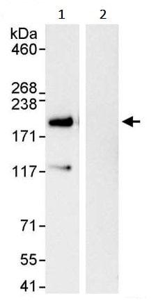 Immunoprecipitation - Anti-VPRBP antibody (ab245483)