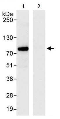 Immunoprecipitation - Anti-TRIM25/EFP antibody (ab245486)