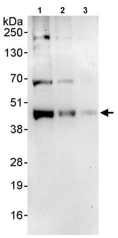 Western blot - Anti-JunB antibody (ab245500)