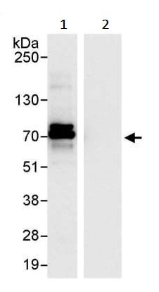 Immunoprecipitation - Anti-CKAP4 antibody (ab245506)