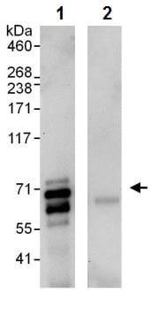 Immunoprecipitation - Anti-BIN1 antibody (ab245512)