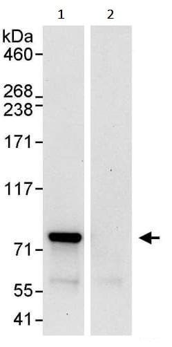 Immunoprecipitation - Anti-ENL antibody (ab245519)