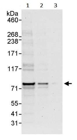 Western blot - Anti-ENL antibody (ab245520)