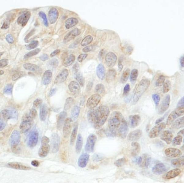 Immunohistochemistry (Formalin/PFA-fixed paraffin-embedded sections) - Anti-HDAC7 antibody (ab245523)