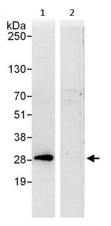 Immunoprecipitation - Anti-eIF-6 antibody (ab245532)