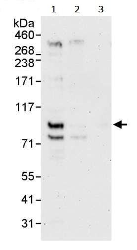 Western blot - Anti-TCF12 antibody (ab245540)