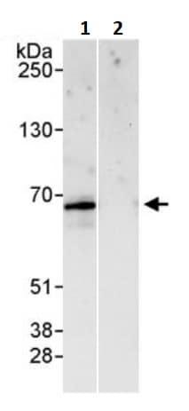 Immunoprecipitation - Anti-PAK2 antibody (ab245542)