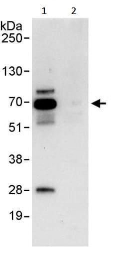 Immunoprecipitation - Anti-RanGAP1 antibody (ab245544)